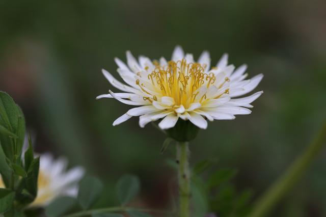 シロバナタンポポ(白花蒲公英)