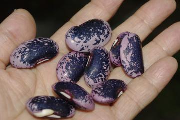 紫花豆_IGP1092 (4)