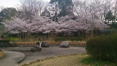 13第二公園の桜