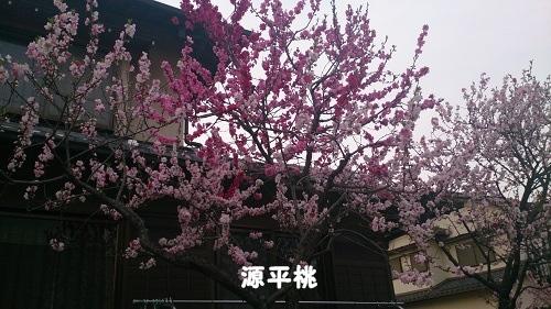 13源平桃