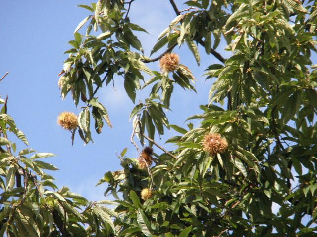 舞子墓園の栗の木