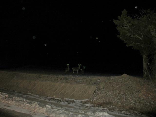 201223夜の鹿 (1)