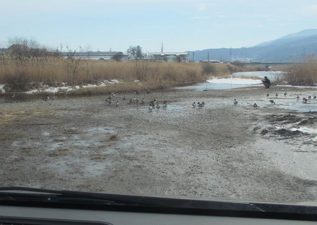 20130205上川の白鳥にパ (1)