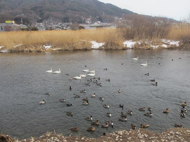 20130205上川の白鳥にパ (3)