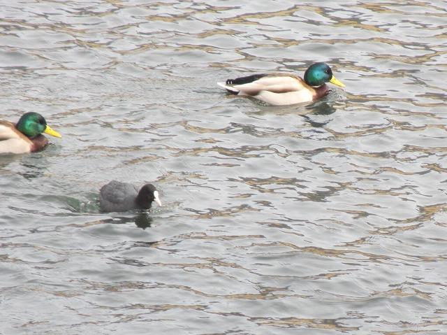 20130205上川の白鳥にパ (5)