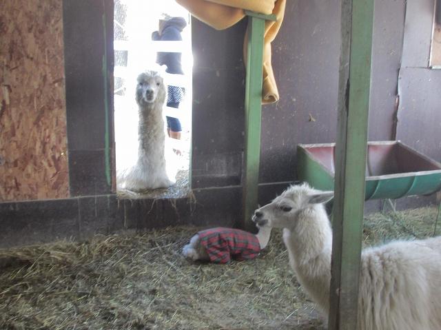 20130224アルパカの赤ちゃん (8)