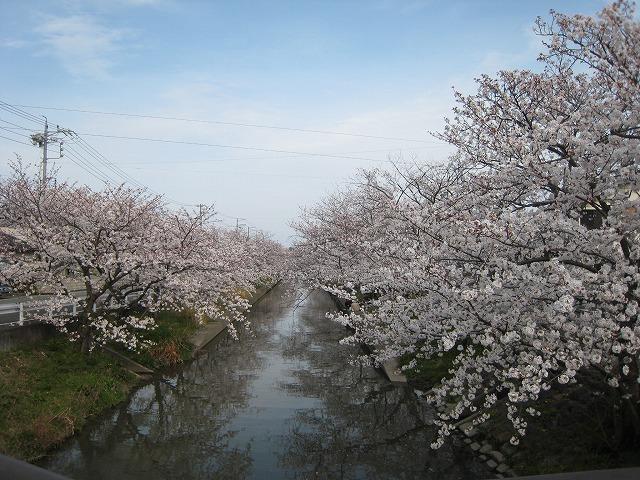 木屋川の桜です (2)