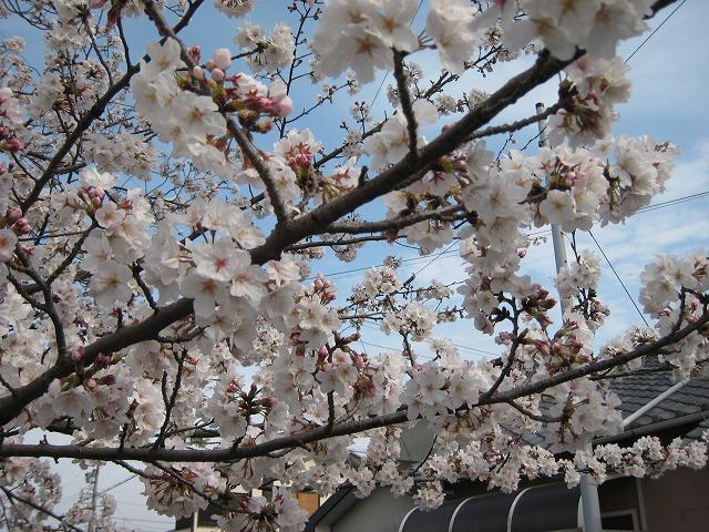 木屋川の桜です (3)