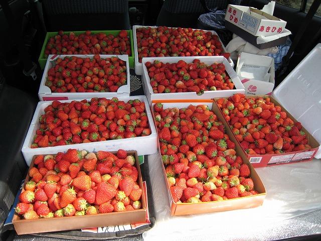 ⑤収穫のイチゴ・・・・・・沢山採れました