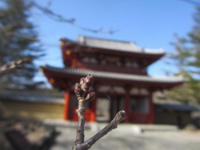 20130319聖光寺の桜のつぼみ (6)