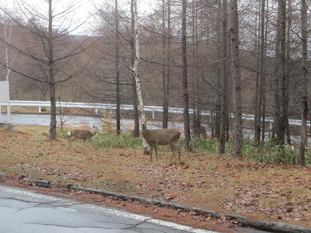 20130406蓼科も雨です 鹿も (1)