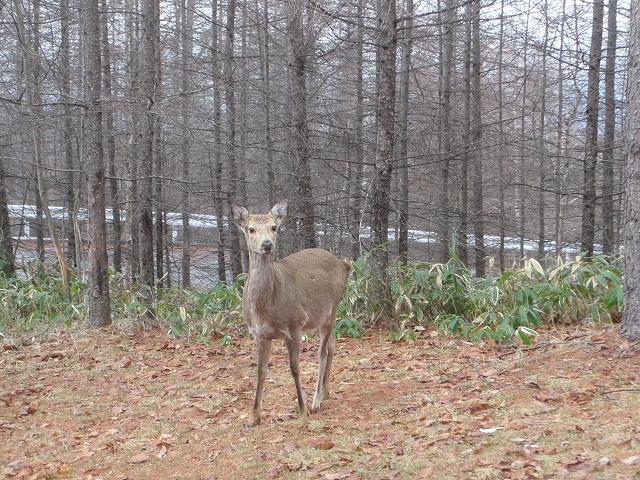 20130406蓼科も雨です 鹿も (3)