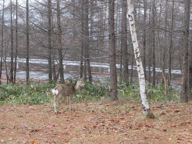 20130406蓼科も雨です 鹿も (4)