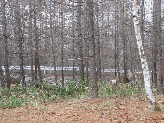 20130406蓼科も雨です 鹿も (6)