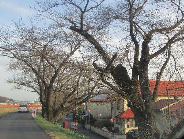 20130404上川の桜と水仙 (13)