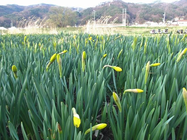 20130404上川の桜と水仙 (22)