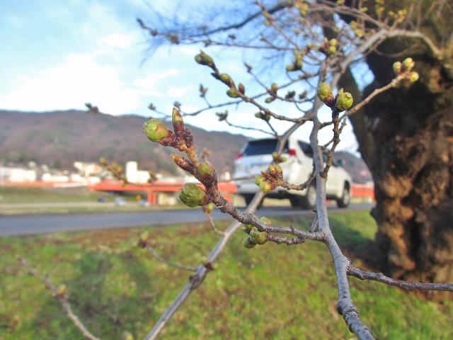 20130404上川の桜と水仙 (38)