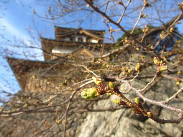 20130404高島城の桜も開花 (11)