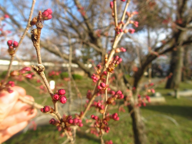 20130404高島城の桜も開花 (14)