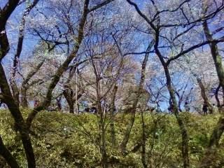 20130409高遠桜 (1)