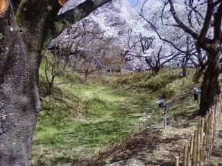 20130409高遠桜 (9)