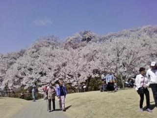 20130409高遠桜 (8)
