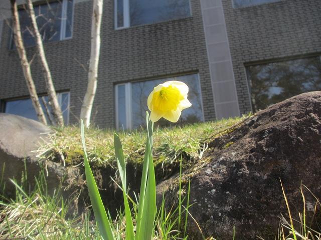 20130412水仙が開花