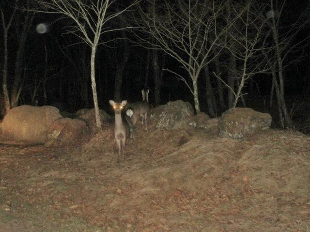 20130416夜の鹿たち (2)