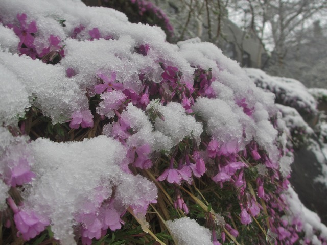 20130421雪の悠心荘 (5)