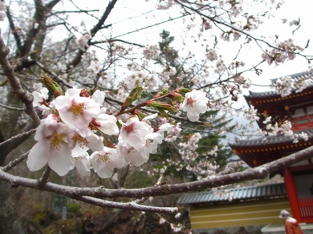 20130430聖光寺満開へ (8)