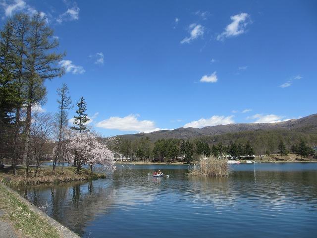 20130503蓼科湖の桜 (3)