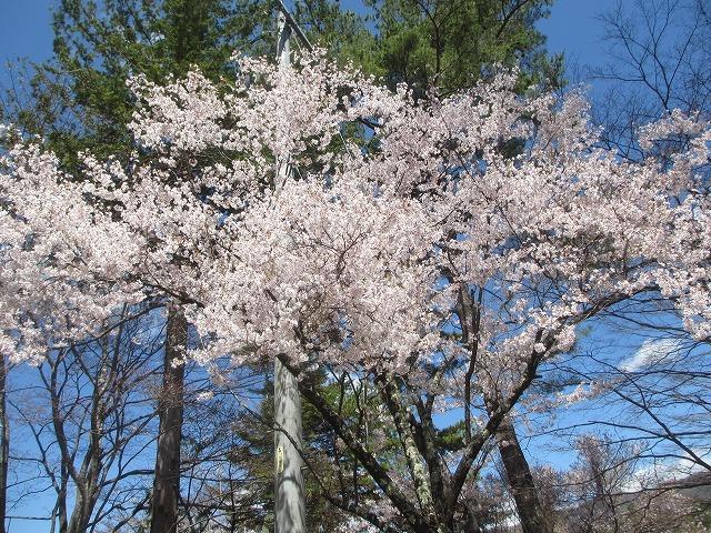 20130503蓼科湖の桜 (5)