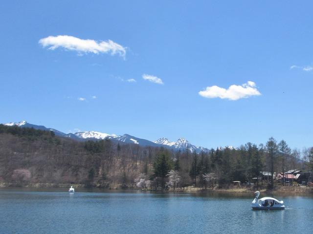 20130503蓼科湖の桜 (12)
