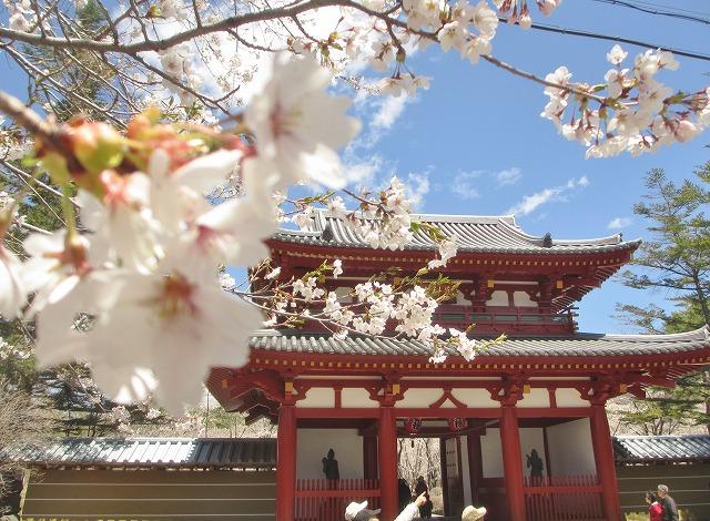 20130503聖光寺の桜満開へ (9)