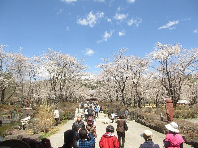 20130503聖光寺の桜満開へ (10)