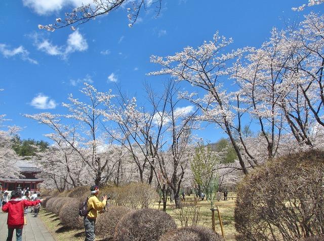 20130503聖光寺の桜満開へ (16)
