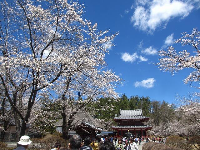 20130503聖光寺の桜満開へ (19)