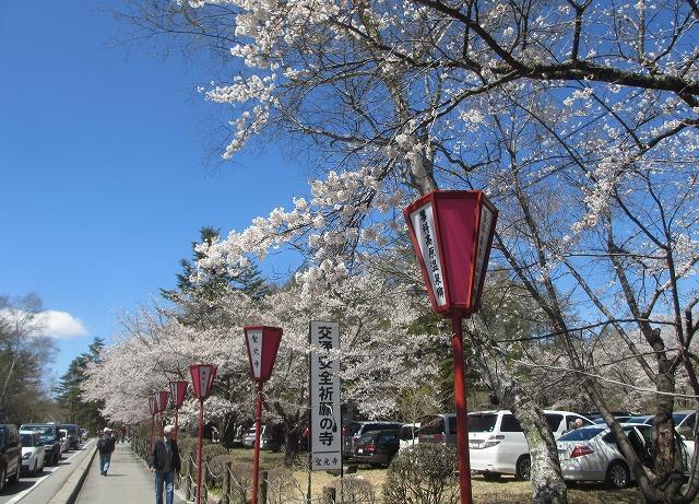 20130503聖光寺の桜満開へ (5)