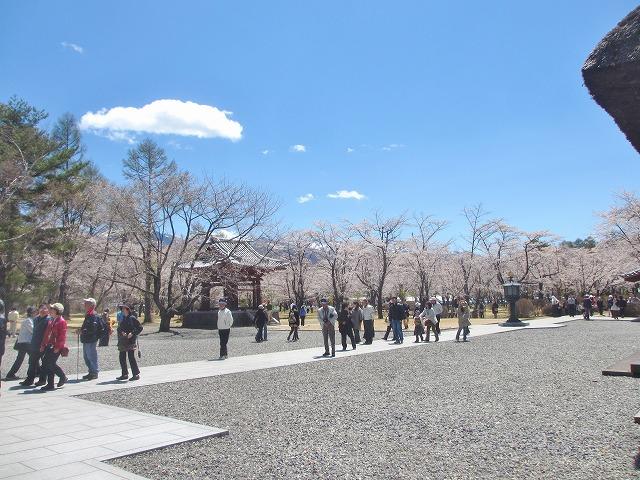 20130503聖光寺の桜満開へ (22)