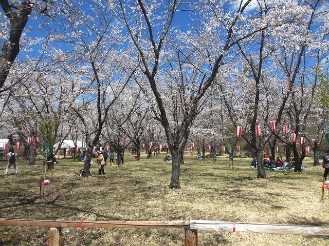 20130503聖光寺の桜満開へ (30)