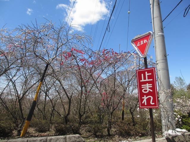 20130507花桃開花へ (17)