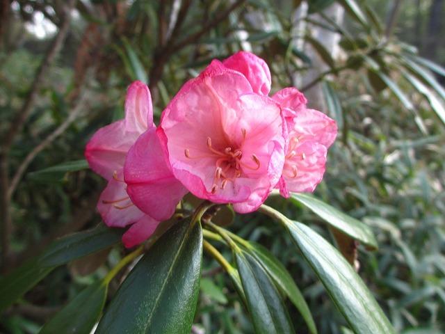 20130509悠心荘の石楠花 (1)