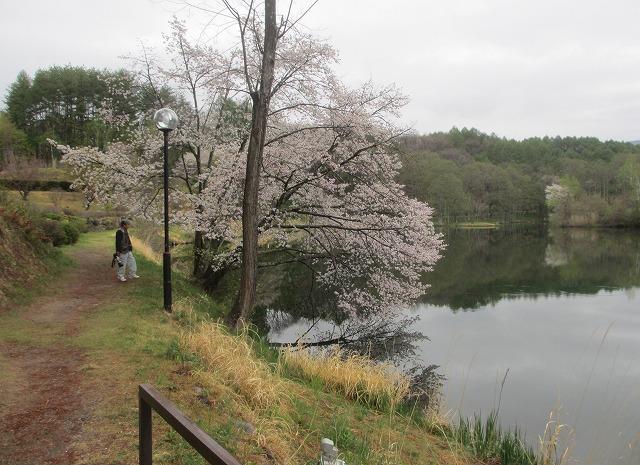 20130511鏡の様な竜神池と桜 (6)