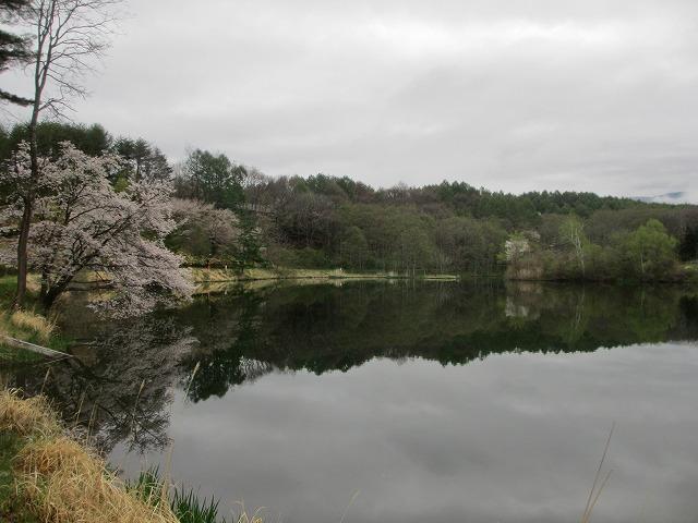 20130511鏡の様な竜神池と桜 (12)