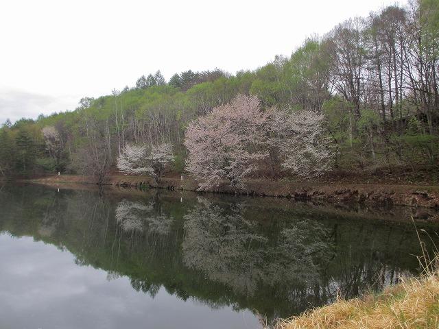 20130511鏡の様な竜神池と桜 (14)