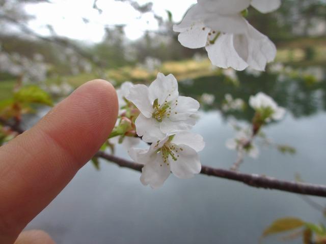 20130511鏡の様な竜神池と桜 (21)
