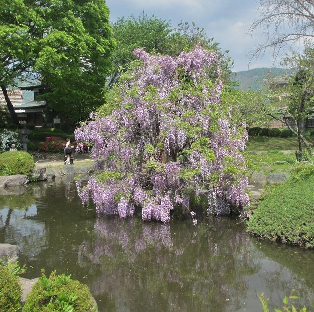 20130516高島城藤まつり (6)