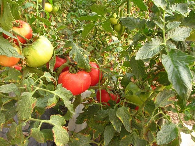 201306010宮坂農園のトマト (2)
