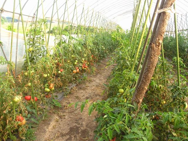 201306010宮坂農園のトマト (1)