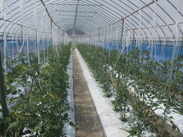 20130629トマト大きく育ってます (3)
